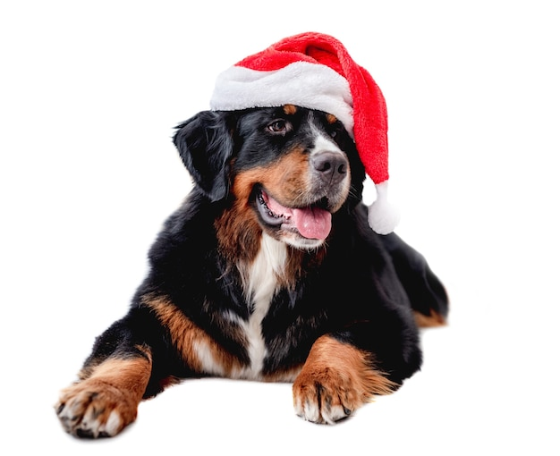 Bernese mountain dog lies wearing red santa hat isolated on white