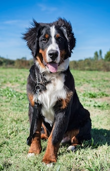 Bernese mountain dog in obedience