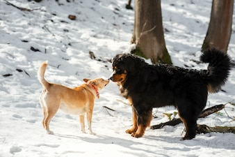 Bernese Mountain dog plays with a red dog on the snow in park