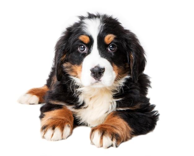 白い背景で隔離のバーニーズ・マウンテン・ドッグの子犬