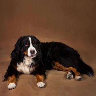 茶色のblackgroundのスタジオに座っているとカメラ目線のバーニーズ・マウンテン・ドッグ
