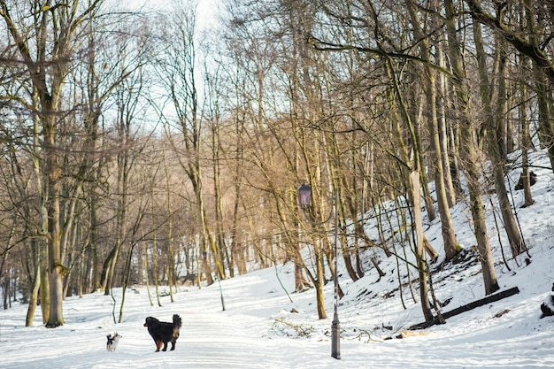 Bernese mountain dog and welsh corgi play in a winter park