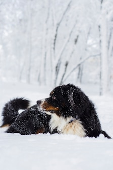 Bernese mountain dog with snow on his head