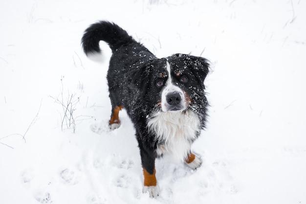 그의 머리에 눈이있는 bernese 산 개. 겨울 눈 덮인 날씨에 행복 한 개 산책