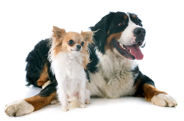 Bernese moutain dog and chihuahua