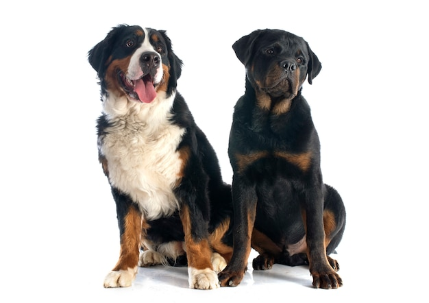 Bernese moutain dog and rottweiler
