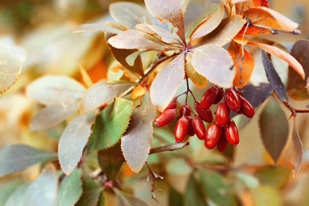 Berries of barberry.