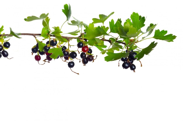 Berries black currant with green leaf. fresh fruit, isolated on white background.