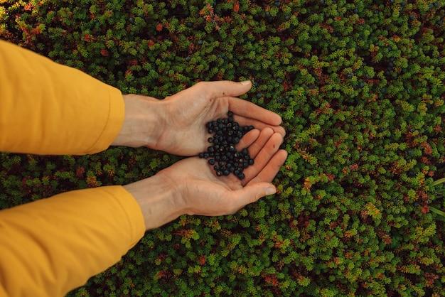 Ягоды в ладонях водяника в естественном виде в тундре кольского полуострова