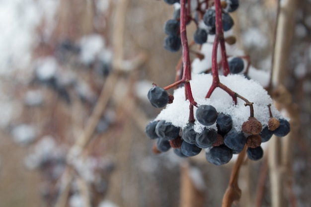 The berries of the maiden grape the under the snow, frozen grape vine outdoors