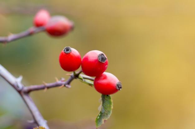 棘のある枝の腰の果実