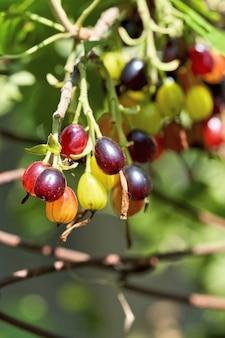晴れた夏の日に、赤、緑、黄色のグーズベリーの果実が枝に生えます