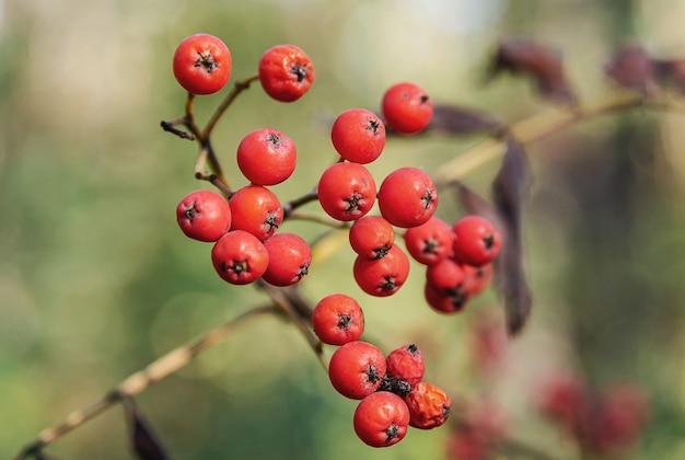 ぼやけた背景に赤いナナカマドのベリー自然と植物