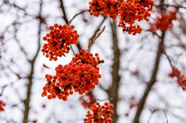 ナナカマドの木の枝のベリー