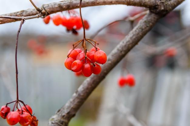 ガマズミ属植物の茂みのベリー