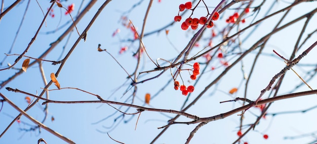 Berries and stalks of mountain ash against the sky texture