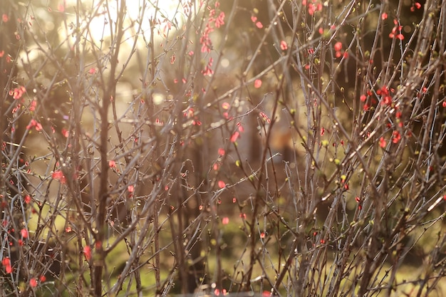 해질녘의 베리 매자나무