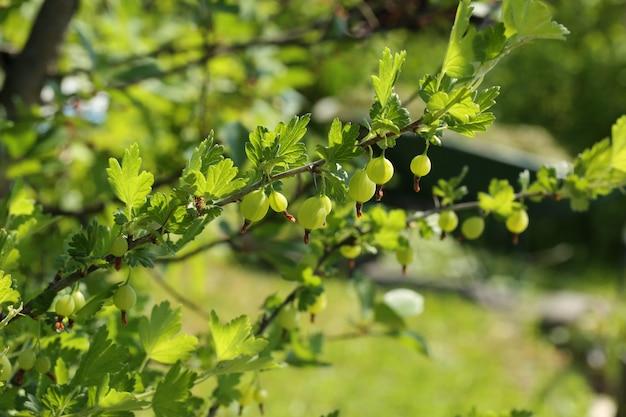 Berry bush garden gooseberry