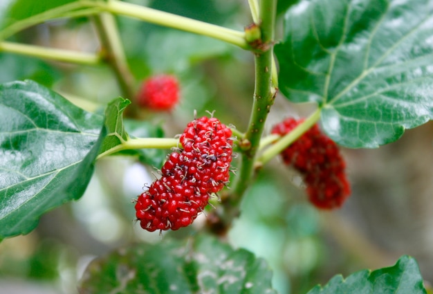 Berry fruit in nature, mulberry twig