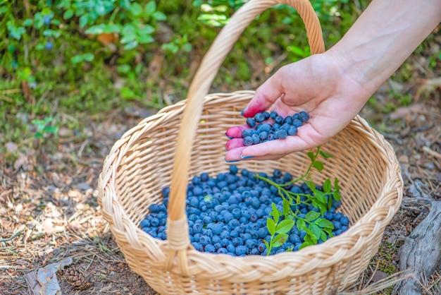 ベリーシーズン熟したブルーベリーをバスケットに入れてブルーベリーを見つけて集めるプロセス