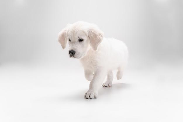 親友。イングリッシュクリームゴールデンレトリバーの演奏。かわいい遊び心のある犬や純血種のペットは、白い壁に隔離されてかわいいように見えます。動き、行動、動き、犬やペットの愛の概念。コピースペース。