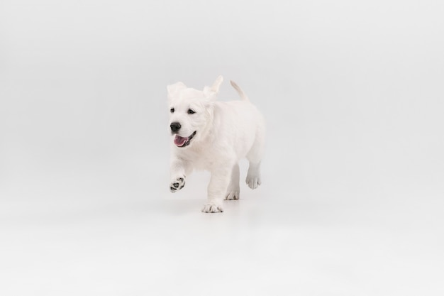 Best friend. english cream golden retriever playing. cute playful doggy or purebred pet looks cute isolated on white wall. concept of motion, action, movement, dogs and pets love. copyspace.