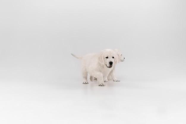 가장 친한 친구. 영어 크림 골든 리트리버 포즈. 귀여운 장난기 많은 강아지 또는 순종 애완 동물은 흰 벽에 고립 된 귀여워 보입니다. 모션, 액션, 움직임, 개 및 애완 동물의 개념을 사랑합니다. copyspace.