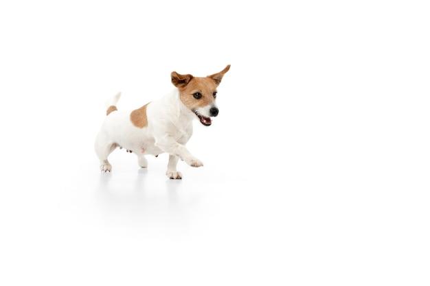 Лучший друг. позирует собачка джек рассел терьер. милая игривая собачка или домашнее животное, играя на белом фоне студии. понятие движения, действия, движения, любви домашних животных. выглядит счастливым, довольным, забавным.