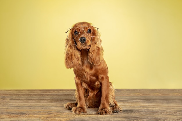 Best teacher. english cocker spaniel young dog is posing. cute playful brown doggy or pet sitting in eyewear isolated on yellow wall. concept of motion, action, movement, pets love. looks cool.