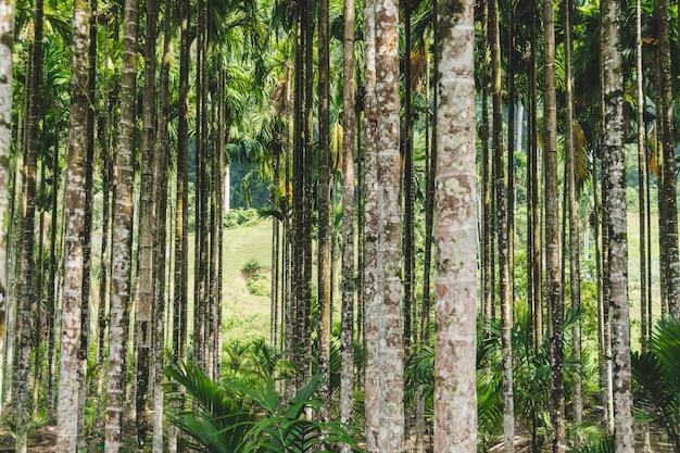 Пальма бетель на курорте в таиланде. пальмовая роща, бетель. фон из тонких стволов экзотических деревьев.