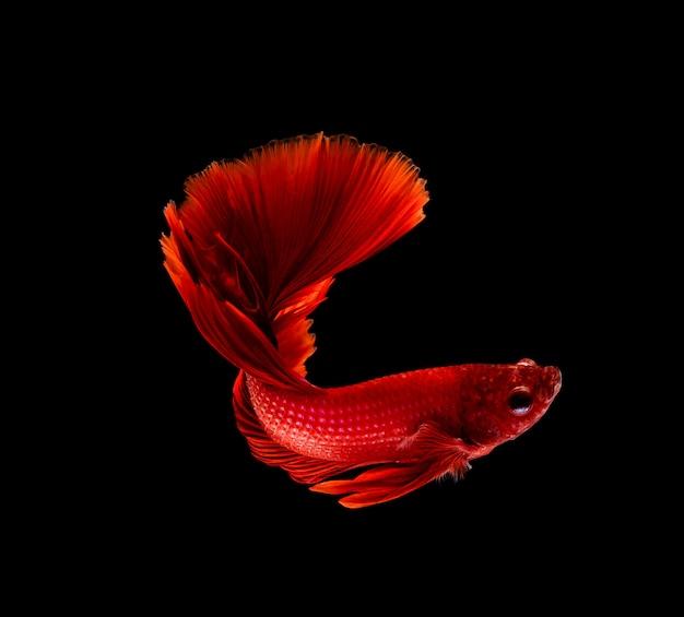 Bettaの魚、シャムの戦い、黒に分離されたbetta splendens