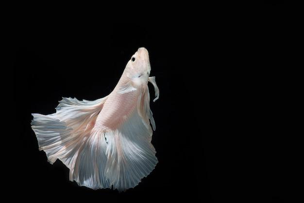 クローズアップ美しいアクション半月bettaの魚、黒の背景にタイのbettaシャムトウギョ。