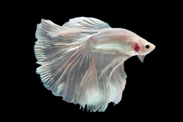 Бойцовая рыбка на черном фоне.
