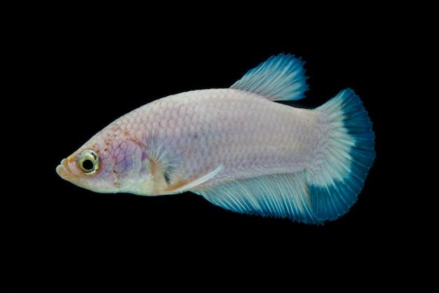 Бетта рыба. красивые сиамские боевые рыбы, синий ободок, изолированные на черном.