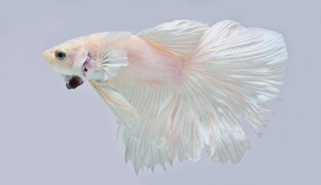 Полумесяц betta fish, сиамские боевые рыбы, betta splendens