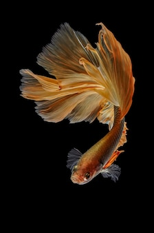 수족관의 베타 물고기