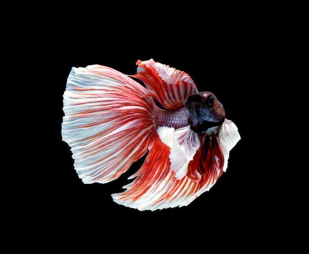 Betta fish isolated on black surface