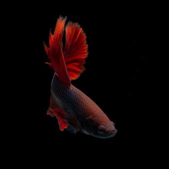 Бетта рыбы, изолированных на черном фоне
