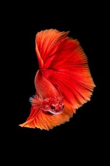 黒の背景にベタの魚またはシャムの戦いの魚