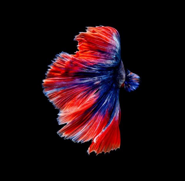 Betta fish, siamese fighting , betta splendens isolated on black background