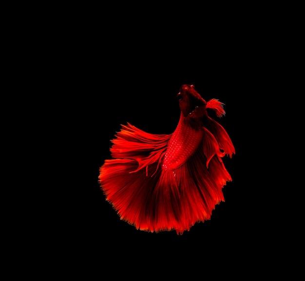 베타 물고기, 샴 싸움, 검은 배경에 고립 된 베타 splendens