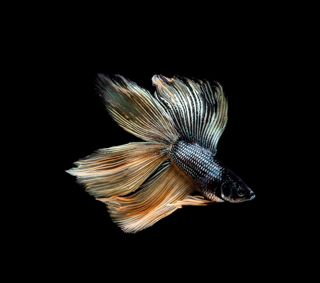 Бойцовая рыбка, сиамские бои, бетта splendens, изолированные на черном