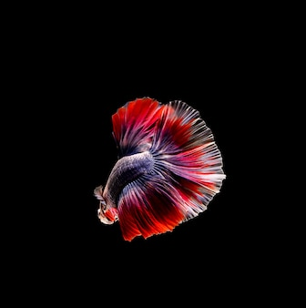 Betta fish, siamese fighting, betta splendens isolated