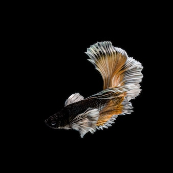 Betta fish, siamese fighting , betta splendens isolated