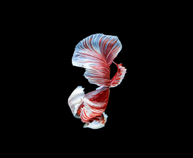 Betta fish, siamese fighting fish, betta splendens isolated on black space