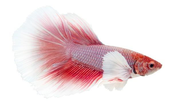 Бойцовая рыба, сиамские боевые рыбы, бетта splendens, изолированные на белом