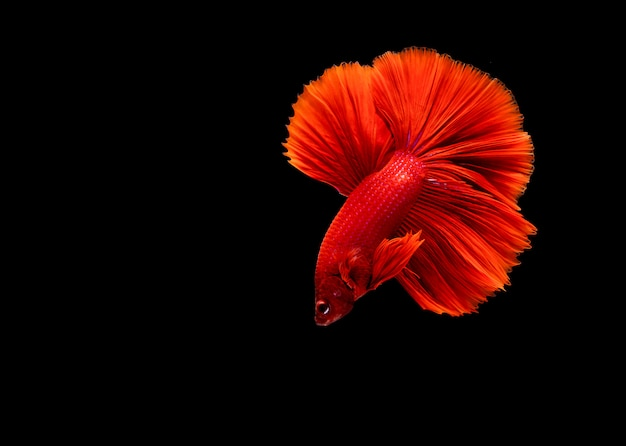 Betta fish, siamese fighting fish, betta splendens isolated