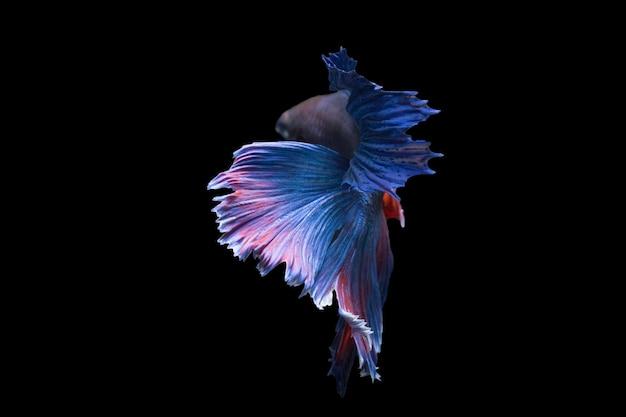 ベタの魚、黒の背景に分離されたシャムの戦いの魚