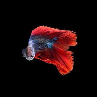 ベタの魚、黒い背景で隔離のシャムの戦いの魚