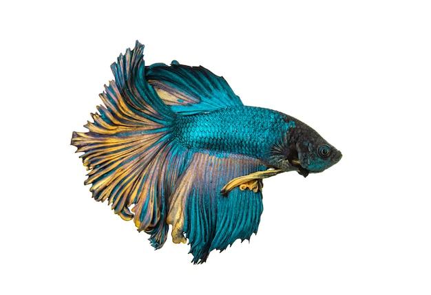 Бойцовая рыба, сиамские боевые рыбы, изолированные на белом